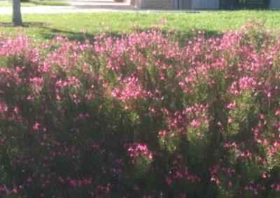 Pink Cherry Sage